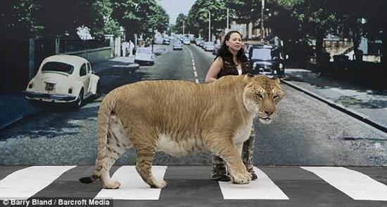 Rekor Kucing Paling Besar Di Dunia Segiempat
