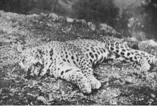 Foto Panar Leopard oleh unik segiempat